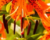 Tiger Lily #1 - 17894-15