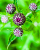 Thistle Buds - 17954-15