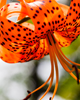 Tiger Lily #2 - 18041-15